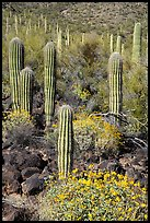 Young Saguaro cacti in springtime. Sonoran Desert National Monument, Arizona, USA ( color)