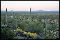 Cactus with bird on edge of Vekol Valley at dawn. Sonoran Desert National Monument, Arizona, USA ( color)