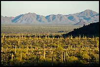 Dense cactus forest in Vekol Valley and Maricopa Mountains. Sonoran Desert National Monument, Arizona, USA ( color)