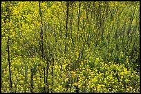 Carpet of yellow wildflowers with bare branches. Sonoran Desert National Monument, Arizona, USA ( color)