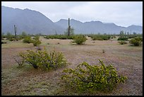 Short grasses and shurbs in rainy Margie Cove. Sonoran Desert National Monument, Arizona, USA ( color)