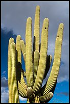 Multiple arms of saguaro cactus. Ironwood Forest National Monument, Arizona, USA ( color)