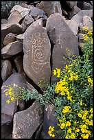 Close-up of Hohokam petroglyphs and brittlebush. Ironwood Forest National Monument, Arizona, USA ( color)