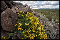 Petroglyphs and brittlebush, Cocoraque Butte. Ironwood Forest National Monument, Arizona, USA ( color)