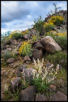 Springtime wildflowers among volcanic boulders, Cocoraque Butte. Ironwood Forest National Monument, Arizona, USA ( color)