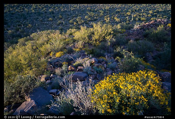 Brittlebush overlooking Palo Verde and bajada with cactus. Ironwood Forest National Monument, Arizona, USA (color)