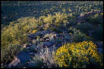 Brittlebush overlooking Palo Verde and bajada with cactus. Ironwood Forest National Monument, Arizona, USA ( color)
