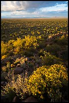 Brittlebush above vast plain. Ironwood Forest National Monument, Arizona, USA ( color)