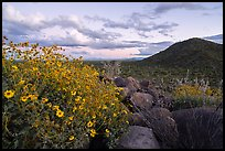 Brittlebush and Cocoraque Butte, twilight. Ironwood Forest National Monument, Arizona, USA ( color)