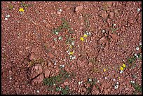 Close up of arid floor with tiny wildflowers. Ironwood Forest National Monument, Arizona, USA ( color)