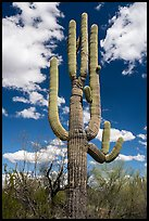 Saguaro cactus. Ironwood Forest National Monument, Arizona, USA ( color)