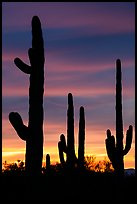 Saguaro cactus in sihouette at sunset. Ironwood Forest National Monument, Arizona, USA ( color)