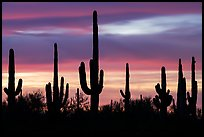 Saguaro cactus and sunset sky. Ironwood Forest National Monument, Arizona, USA ( color)