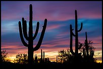 Saguaro cactus sihouettes at sunset. Ironwood Forest National Monument, Arizona, USA ( color)