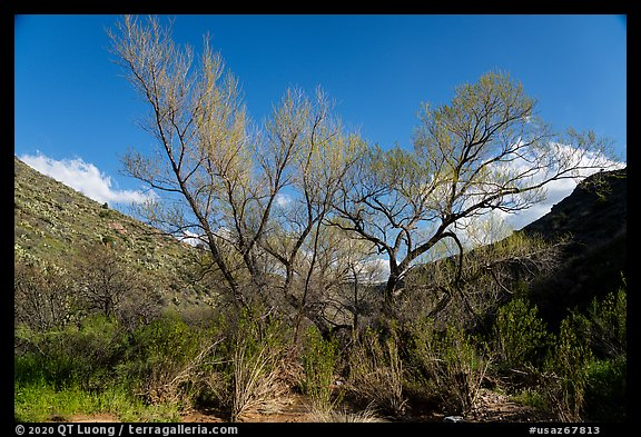 Newly leafed tree, Badger Springs Canyon. Agua Fria National Monument, Arizona, USA (color)