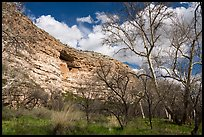 Sycamore trees and Montezuma Castle, Montezuma Castle National Monument. Arizona, USA ( color)