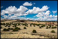 Desert grassland with juniper trees. Wupatki National Monument, Arizona, USA ( color)