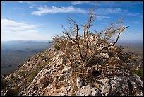 Palo Verde on Waterman Peak summit. Ironwood Forest National Monument, Arizona, USA ( )