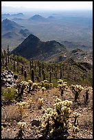Cholla and saguaro cacti on slopes of Waterman Peak. Ironwood Forest National Monument, Arizona, USA ( color)