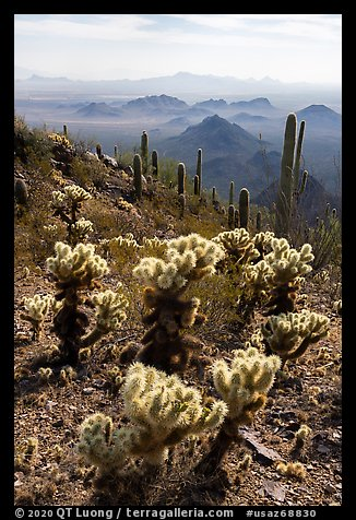 Cholla and saguaro cacti, desert peaks from Waterman Mountains. Ironwood Forest National Monument, Arizona, USA (color)