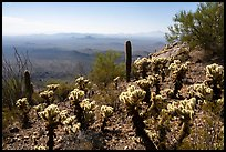 Cactus on Waterman Peak. Ironwood Forest National Monument, Arizona, USA ( color)