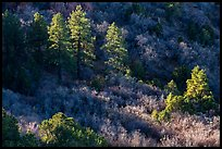 Pine trees and shrubs, Mt Logan. Grand Canyon-Parashant National Monument, Arizona, USA ( color)