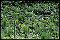 Saguaro Cactus on hillside. Organ Pipe Cactus  National Monument, Arizona, USA (color)