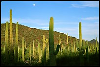 Saguaro cactus and moon. Organ Pipe Cactus  National Monument, Arizona, USA (color)