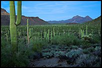 Cacti, Diablo Mountains, dusk. Organ Pipe Cactus  National Monument, Arizona, USA (color)