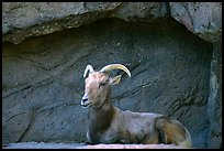 Desert Bighorn sheep, Arizona Sonora Desert Museum. Tucson, Arizona, USA ( color)