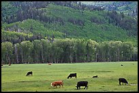 Cows in meadow and aspen covered slopes in spring. Colorado, USA