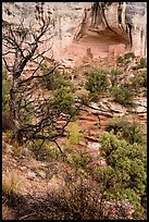 Juniper and cliff dwelling in alcove. Canyon of the Anciens National Monument, Colorado, USA ( color)