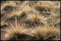 Grasses. Canyon of the Anciens National Monument, Colorado, USA ( color)