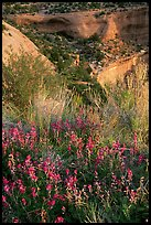 Indian Paintbrush and sandstone cliffs. Colorado National Monument, Colorado, USA ( color)