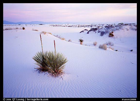 Yuccas and gypsum dunes, dawn. White Sands National Park, New Mexico, USA.