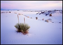 Yuccas and gypsum dunes, dawn. White Sands National Park ( color)