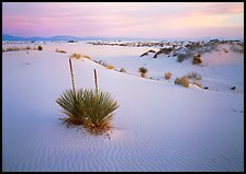 Yucca and white gypsum dune at sunrise. White Sands National Park ( color)
