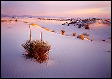 Soap Yucca and white gypsum dune field at sunrise. White Sands National Park ( color)