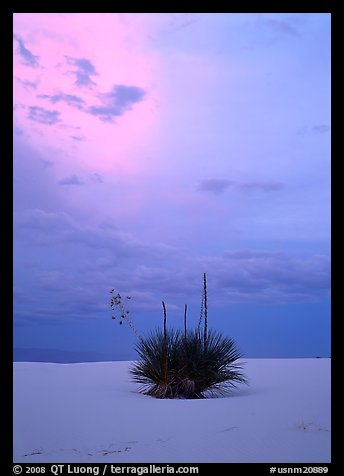 Lone yucca plants at sunset. White Sands National Park (color)