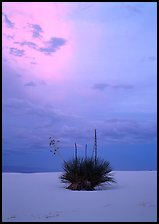 Lone yucca plants at sunset. White Sands National Park, New Mexico, USA.