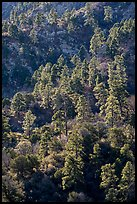 Pine trees on ridge. Organ Mountains Desert Peaks National Monument, New Mexico, USA ( color)