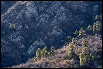 Pine trees at the base of Organ Mountains. Organ Mountains Desert Peaks National Monument, New Mexico, USA ( color)