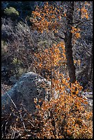 Shurbs and tree with fall foliage remnants along Pine Tree Trail. Organ Mountains Desert Peaks National Monument, New Mexico, USA ( color)