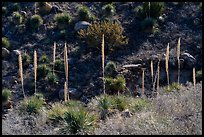 Group of sotol plants with flowering stems. Organ Mountains Desert Peaks National Monument, New Mexico, USA ( color)