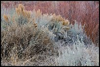 Shrubs and willows in winter. Rio Grande Del Norte National Monument, New Mexico, USA ( color)