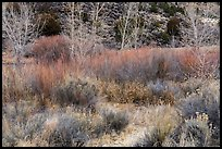 Shurbs and trees in winter, Lower Rio Grande River Gorge. Rio Grande Del Norte National Monument, New Mexico, USA ( )