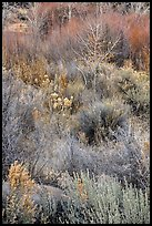Shurbs and bare trees, Lower Rio Grande River Gorge. Rio Grande Del Norte National Monument, New Mexico, USA ( )