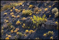 Desert shrubs and bushes, Box Canyon. Organ Mountains Desert Peaks National Monument, New Mexico, USA ( color)