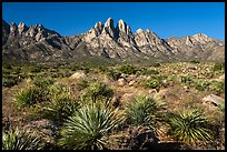 Dense sotol, Needles, Rabbit Ears, and Baylor Peak. Organ Mountains Desert Peaks National Monument, New Mexico, USA ( color)