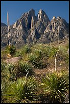 Flowering sotol and Rabbit Ears. Organ Mountains Desert Peaks National Monument, New Mexico, USA ( color)